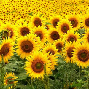 [:ru]Семена подсолнечника Украинский скороспелый[:ua]Насіння соняшника Український скоростиглий[:]