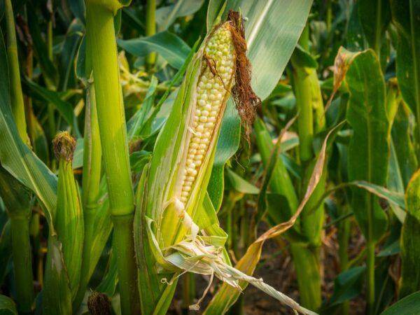Семена кукурузы Юнитоп
