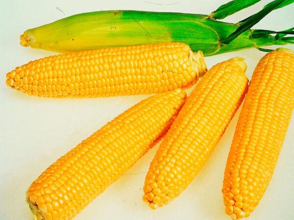 Сахарная кукуруза Орлан (Византия)