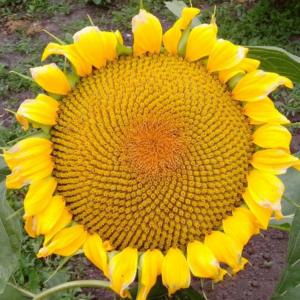 Насіння соняшника Златсон