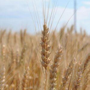 Семена озимой пшеницы Золотоколоса