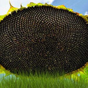 [:ru]Семена подсолнечника НСХ 1749[:ua]Насіння соняшнику  НСХ 1749[:]
