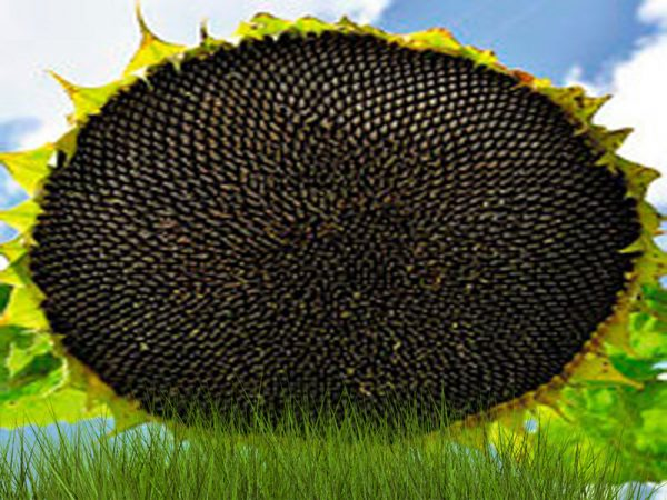 Насіння соняшнику НСХ 1749