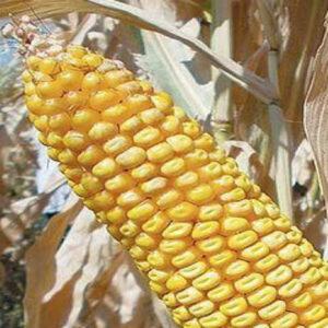 [:ru]Семена кукурузы ЛГ 2195[:ua]Насіння кукурудзи ЛГ 2195 [:]