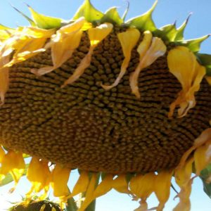 Семена подсолнечника НС-X-2649