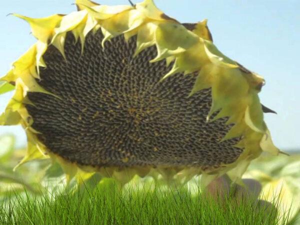 Семена подсолнечника Латитуда (НСX 26749)