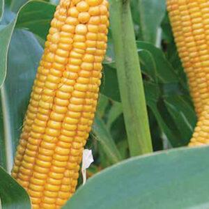 Семена кукурузы ЛГ 30273