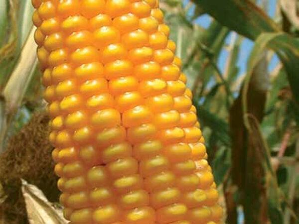 Семена кукурузы ЛГ30288