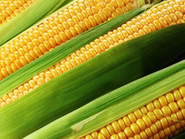 Семена кукурузы ЛГ 3255