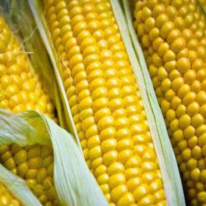 Семена кукурузы ЛГ 3330