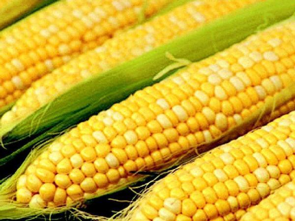 Семена кукурузы ЛГ 3475