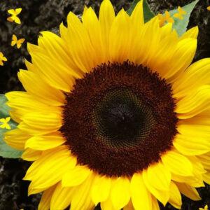 [:ru]Семена подсолнечника ЛГ 5582[:ua]Насіння соняшника ЛГ 5582 [:]
