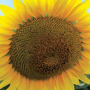 [:ru]Семена подсолнечника ЛГ 5671 КЛП[:ua]Насіння соняшника ЛГ 5671 КЛП [:]