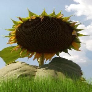 Семена подсолнечника НСХ 7037
