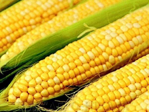 Семена кукурузы СИ Новатоп