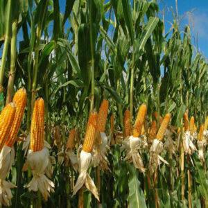[:ru]Семена кукурузы P0216[:ua]Насіння кукурудзи P0216[:]