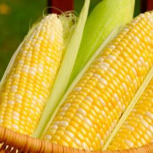 Семена кукурузы P9175