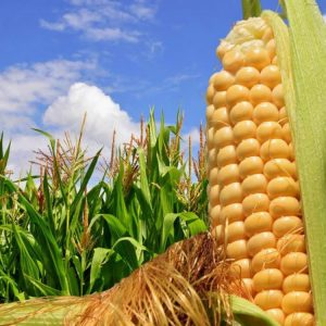 [:ru]Семена кукурузы P9400[:ua]Насіння кукурудзи P9400 [:]