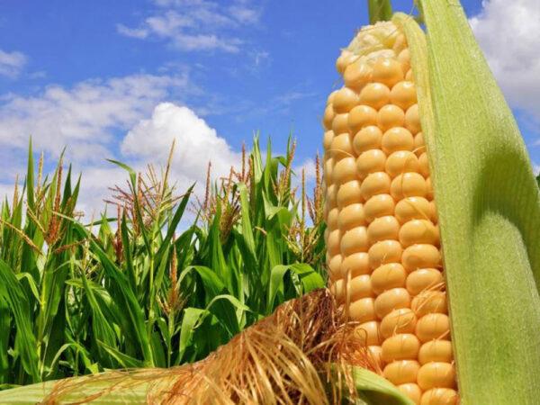 Семена кукурузы P9400
