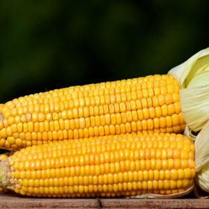[:ru]Семена кукурузы P9578[:ua]Насіння кукурудзи P9578[:]
