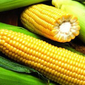 Семена кукурузы PR35F38