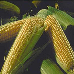 [:ru]Семена кукурузы PR38A75[:ua]Насіння кукурудзи PR38A75[:]