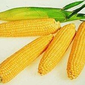 [:ru]Семена кукурузы PR38Y34[:ua]Насіння кукурудзи PR38Y34[:]