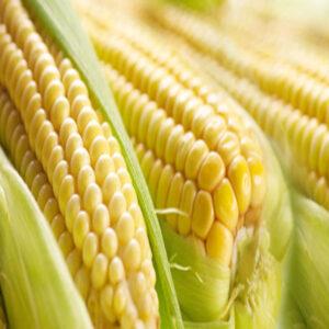 [:ru]Семена кукурузы PR39A50[:ua]Насіння кукурудзи PR39A50[:]