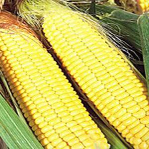 [:ru]Семена кукурузы PR39R20[:ua]Насіння кукурудзи PR39R20 [:]