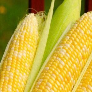 [:ru]Семена кукурузы PR39W45[:ua]Насіння кукурудзи PR39W45[:]