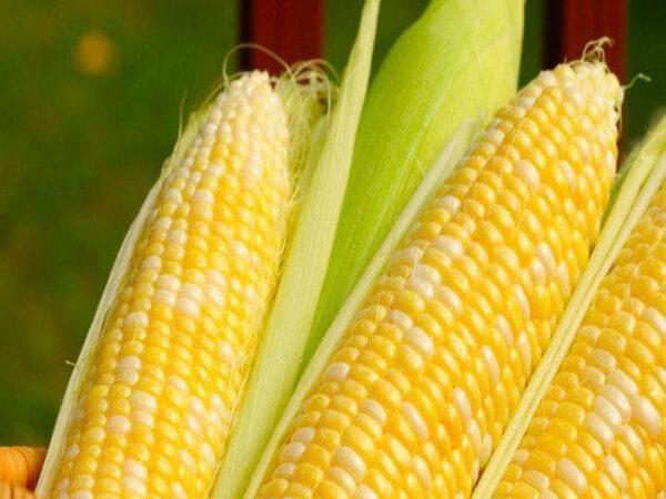 Семена кукурузы PR39W45