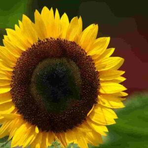 [:ru]Семена подсолнечника PR63a86[:ua]Насіння соняшника PR63a86[:]