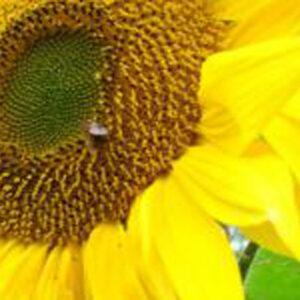 Семена подсолнечника РR64Н34