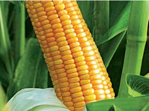 Семена кукурузы Аалвито