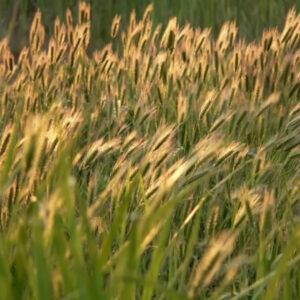 [:ru]Семена ярого ячменя Аллегро[:ua]Насіння ярого ячменю Аллегро[:]