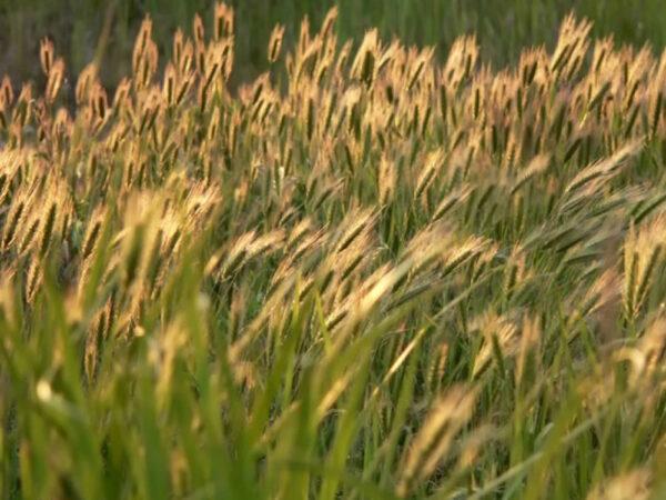 Семена ярого ячменя Аллегро