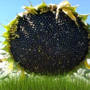[:ru]Семена подсолнечника Анастасия[:ua]Насіння соняшнику  Анастасія[:]