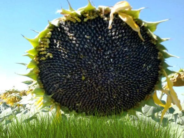 Семена подсолнечника Анастасия