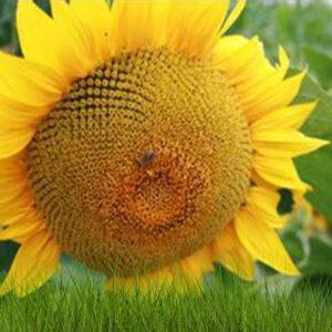 [:ru]Семена подсолнечника ЕС Арамис [:ua]Насіння соняшника ЄС Араміс [:]