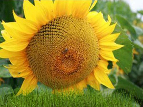 Семена подсолнечника ЕС Арамис