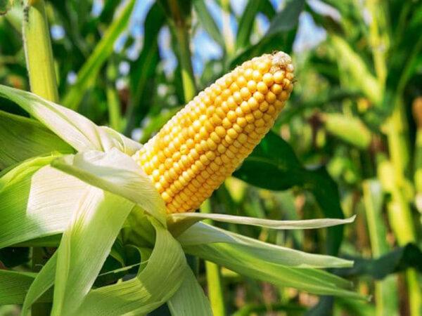 Семена кукурузы КС Аркади