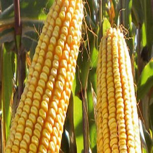 [:ru]Семена кукурузы ЕС Астероид [:ua]Насіння кукурудзи ЄС Астероїд [:]