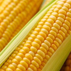 [:ru]Семена кукурузы СИ Батанга [:ua]Насіння кукурудзи СИ Батанга [:]