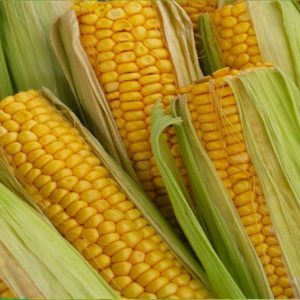 Семена кукурузы ЕС Бомбастик