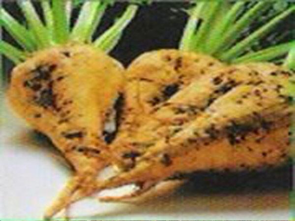 Семена сахарной свеклы Борута