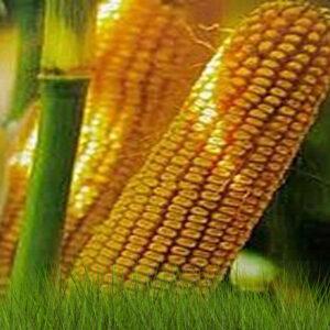 Семена кукурузы КС Бресси