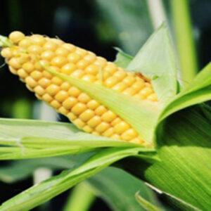 Семена кукурузы ЕС Бриллиант
