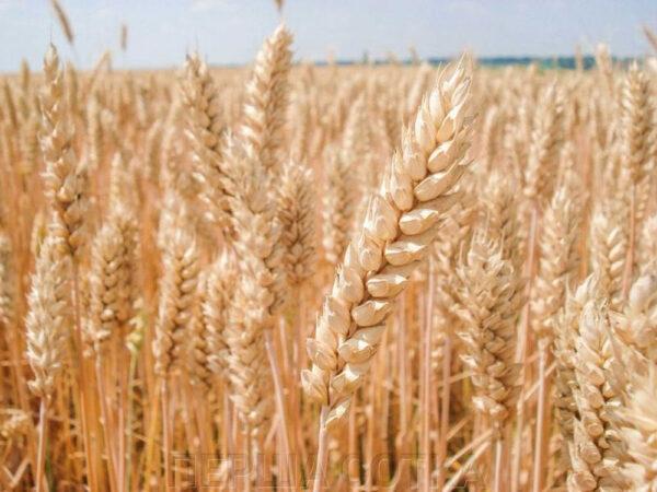 Семена озимой пшеницы Фабиус