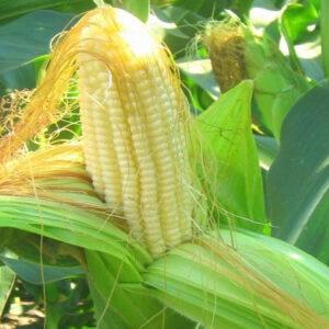 [:ru]Семена кукурузы НС Фалькон[:ua]Насіння кукурудзи НС Фалькон [:]