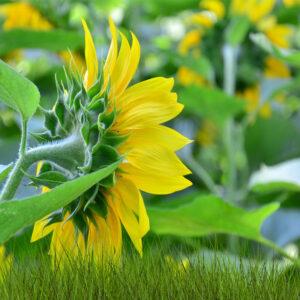 [:ru]Семена подсолнечника СИ Фламенко [:ua]Насіння соняшника  СИ Фламенко [:]